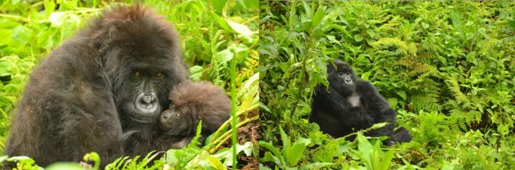 2 Days Gorillas Safari in Rwanda