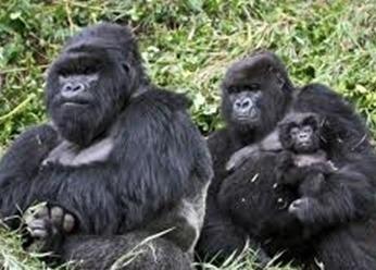rwanda mountain gorillas -safaris tour
