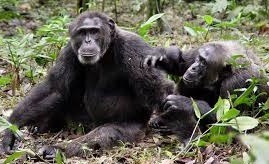 safaris to uganda-chimpanzee