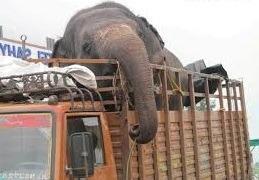 elephant on transfer