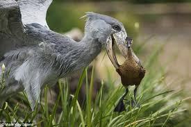shoebill birding safaris in uganda