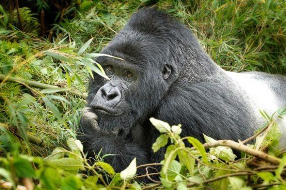 7 Days Rwanda Uganda Gorilla Safari Tour, Rwanda Gorilla Tracking Safaris, Gorilla tour Rwanda
