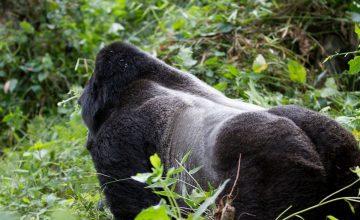 chimpanzee trekking in Kyambura Gorge of Queen Elizabeth Parkchimpanzee trekking in Kyambura Gorge of Queen Elizabeth Parkchimpanzee trekking in Kyambura Gorge of Queen Elizabeth Parkchimpanzee trekking in Kyambura Gorge of Queen Elizabeth Parkchimpanzee trekking in Kyambura Gorge of Queen Elizabeth Park