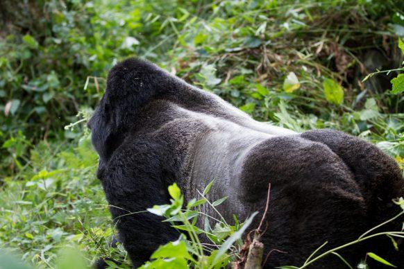 6 Days Uganda Safari, Gorilla Trekking & Wildlife Game Viewing Uganda Safari in 6 Day & 5 Nights.