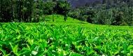 teagrowing