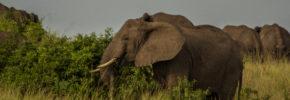 tourism , uganda safaris