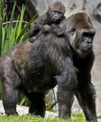 mother gorilla with child