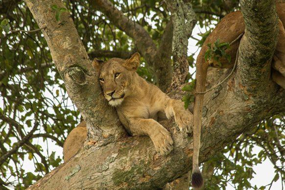 tree climbing lion uganda wildlife safari