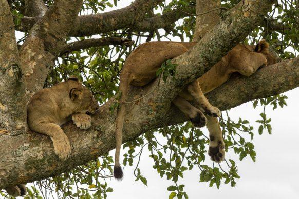 6 Days Uganda Safari, Gorilla Trekking & Wildlife Game Viewing Uganda Safari in 5 nights 6 Day.