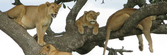 tree climbing lions in ishasha