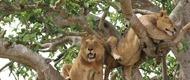 tree-climbing-lions-uganda