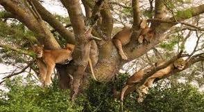 tree climbing lions in ishasha