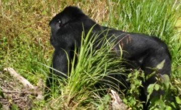 trekking-gorilla