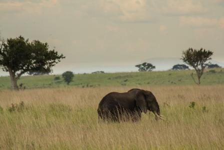 Elephant-in-queen-elizabeth np uganda