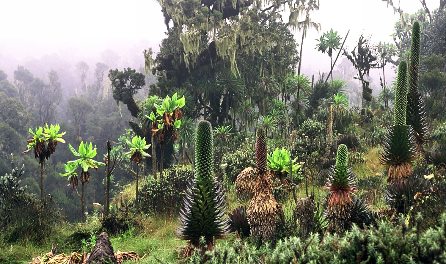 vegetation in Rwenzori uganda