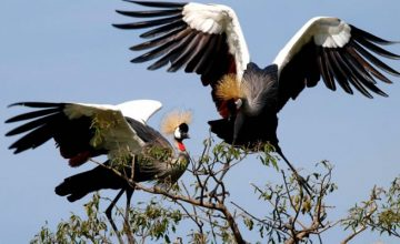 uganda birding safari