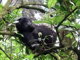 mountain gorilla sleeping- uganda safaris