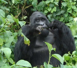 mountain gorillas-uganda gorilla tours