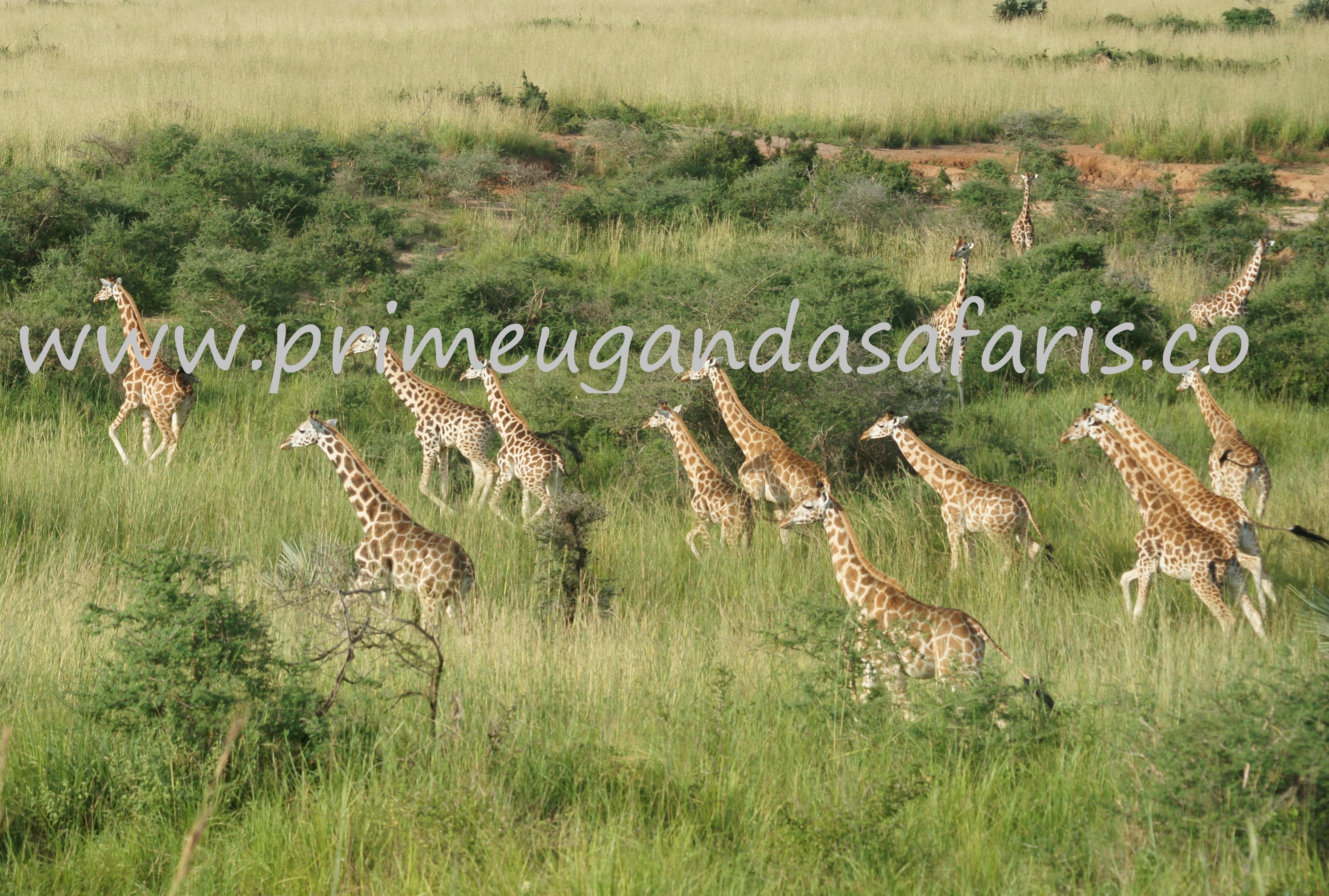 Giraffes- kidepo valley national park