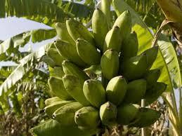 banana -uganda safari