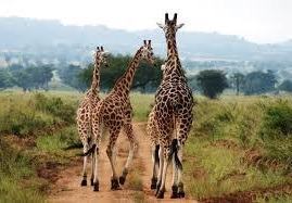 giraffes-uganda safaris