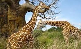 giraffes on a uganda tour