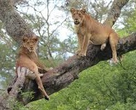 tree climbing lions encounterd on a uganda safari
