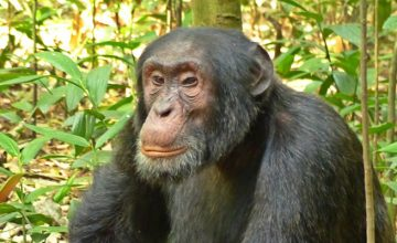 Gorilla, Chimpanzee, Wild game, Safari 12 Days uganda tour