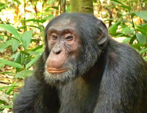 Chimpanzee Trekking Uganda Safari