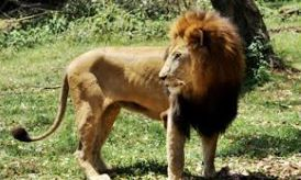 Letaba, One of The UWEC Male Lions Dies On the Way from Fort Portal Conservation Education Program