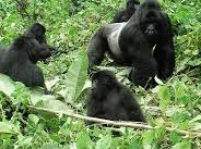 volcanoe-gorillas