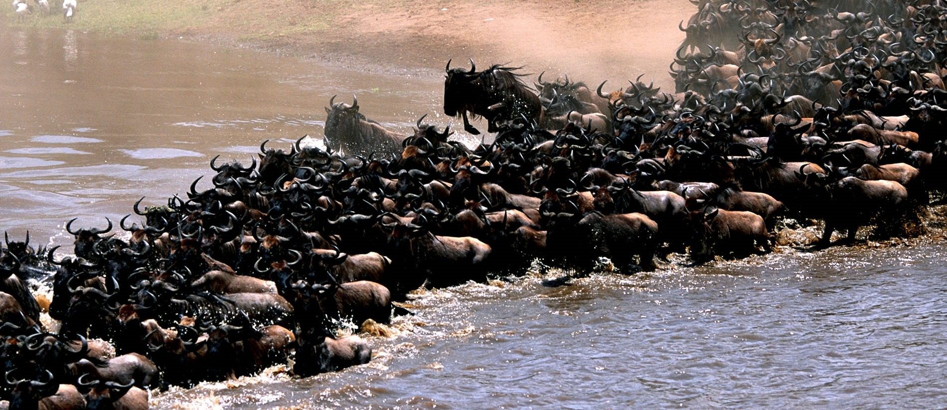 The Wildebeests Migrating across E. Africa