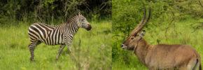 wildlife-safaris-in-lake-mburo