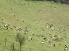 grey crowned crane- uganda safari attraction