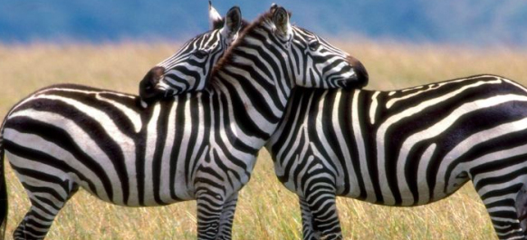 Best Places to See Zebras in Uganda - Uganda Safari News