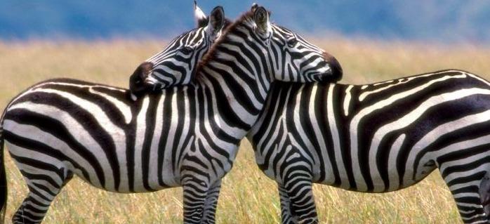 zebras-in-kidepo-uganda-wildlife-safaris
