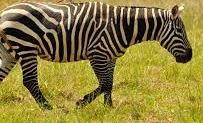 zebras in uganda